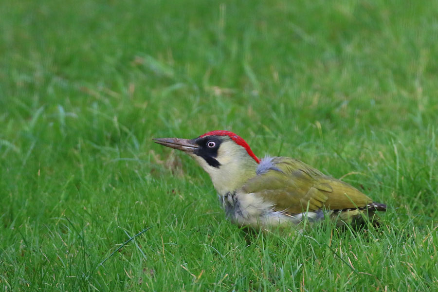 How To Encourage Green Woodpecker To Feed In Your Garden