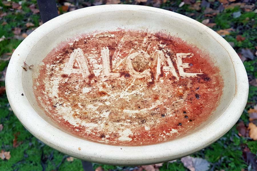 Red Algae In Your Bird Bath? This Is What To Do • Birds Life